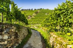 Grapes in vineyard in the Wachau, Austria. Europe royalty free stock images