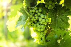Grapes in vineyard in the Wachau, Austria. Europe royalty free stock photos