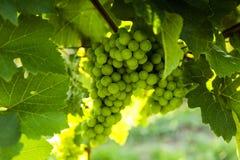 Grapes in vineyard in the Wachau, Austria. Europe stock photos