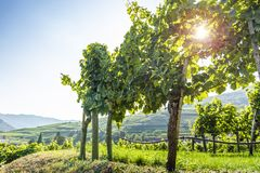 Grapes in vineyard in the Wachau, Austria. Europe stock photography