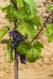 Grapes in vineyard in the Wachau, Austria. Europe stock photo
