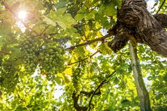 Grapes in vineyard in the Wachau, Austria. Europe royalty free stock photography