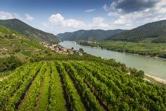 Grapes in vineyard in the Wachau, Austria. Europe stock image