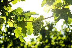 Grapes in vineyard in the Wachau, Austria. Europe stock images