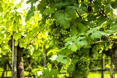 Grapes in vineyard in the Wachau, Austria. Grapes in vineyard in the Wachau valley, Lower Austria. Europe royalty free stock images