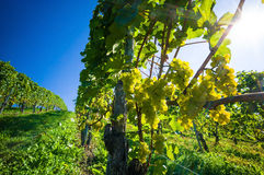 Grapes in the vineyard Royalty Free Stock Photos