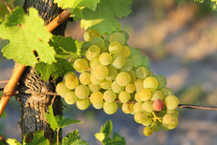Grapes in vineyards. Closeup of bunch of green ripe grapes in vineyards stock photos