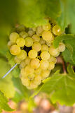 Grapes in vineyards before harvest. In Beaujolais land in France royalty free stock photo