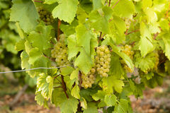 Grapes in vineyards before harvest. In Beaujolais land in France stock photography