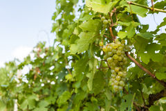 Grapes on Vineyards under Palava. Czech Republic Stock Photo