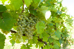 Grapes on Vineyards under Palava. Czech Republic Royalty Free Stock Image