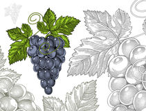 Grapes in vintage engraved style Royalty Free Stock Photo