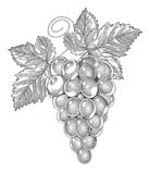 Grapes in vintage engraved style Stock Images