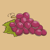 Grapes in vintage style. Colored vector illustration Stock Photography