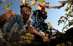 Grapes. Vintner in french straw examining the grapes during the vintage Royalty Free Stock Images