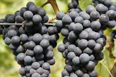 Grapes Royalty Free Stock Photo