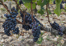 Grapes vinyard Chateau Leoville Poyferre Stock Photos