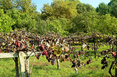 Grapes in vivid grass land. GRAPES HANGING FROM A VINE Royalty Free Stock Image