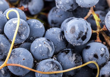 Grapes with water drops Royalty Free Stock Photos