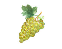 The grapes watercolor  painting watercolor  Stock Photo