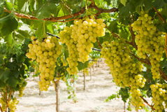 Grapes of white vine in a vineyard Royalty Free Stock Photo