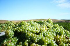 Grapes for white wine Royalty Free Stock Image