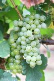 Grapes for white wine Stock Photos