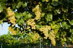 Grapes white wine on tree with branch and green background. white grapes at vineyard.  royalty free stock image