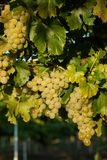 Grapes white wine on tree with branch and green background. white grapes at vineyard.  stock photo