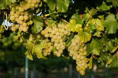 Grapes white wine on tree with branch and green background. white grapes at vineyard.  stock image