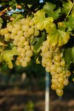 Grapes white wine on tree with branch and green background. white grapes at vineyard.  royalty free stock photography
