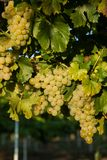 Grapes white wine on tree with branch and green background. white grapes at vineyard.  royalty free stock photos