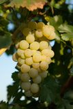Grapes white wine on tree with branch and green background. white grapes at vineyard.  stock photography