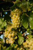 Grapes white wine on tree with branch and green background. white grapes at vineyard.  stock photos