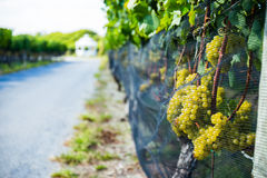 Grapes For White Wine On The Vine. Grapes for white wine hang on the vine at a vineyard next to a road with a gazebo in the background stock photography
