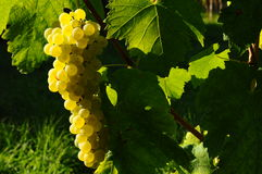 Grapes of White Wine in a Wineyards in autumn in Tuscany, Chianti, Italy. Wineyards in Tuscany, vinegrapes, and leaves vine. Chianti region, in Tuscany, Italy royalty free stock photo