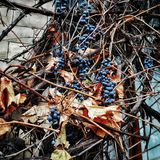 Grapes. Wild grapes growing on the facade of the building Royalty Free Stock Images