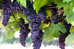 Grapes on wine stock image