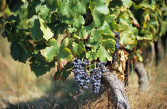 Grapes for Wine. Grapes growing in the Provence region of France for the wine harvest stock photography