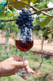 Grapes in a Wine Glass. Black Grapes in a Red Wine Glass Royalty Free Stock Images