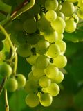 Grapes, Wine, Plant, Plantation Stock Photography