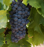 Grapes on wine plant Royalty Free Stock Photography