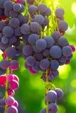 Grapes  wine on tree . royalty free stock photos