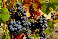 The Grapes of Wine Stock Image