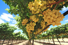 Grapes in wine yard Stock Photos