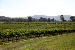 Grapes in wine yard. Green grapes in wine yard, Hunter Valley, Australia Stock Photos