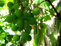 Grapes in wine yard Stock Photo
