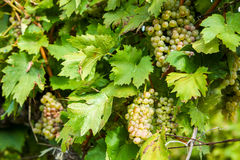 Grapes in wine yard Royalty Free Stock Images