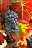 Grapes for winemaking Stock Photo