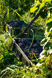 Grapes in wineyard Stock Image